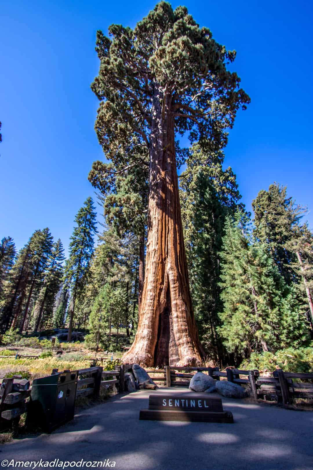 Park Narodowy Sekwoi the sentinel sequoia national park