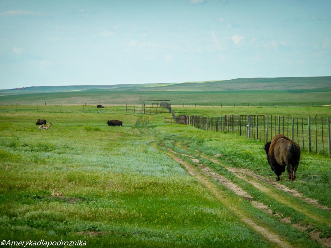 bizony w badlands